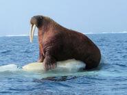 Pacific walrus (Odobenus rosmarus divergens)