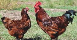 Rhode Island Red Rooster and Hen.jpg