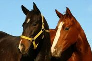 Thoroughbred stallion and mare
