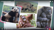 What Do Pandas Orangutans Rhinoceroses Elephants and Gorillas Have In Common