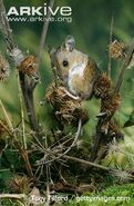 Wood-mouse-preening