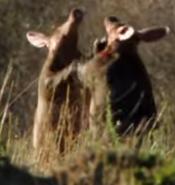 African Cats Aardvarks