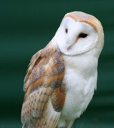 Barn owl1