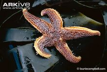 Common-starfish.jpg