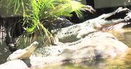 Crocodile in miami zoo