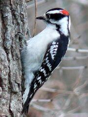 Downy Woodpecker-Male.jpg
