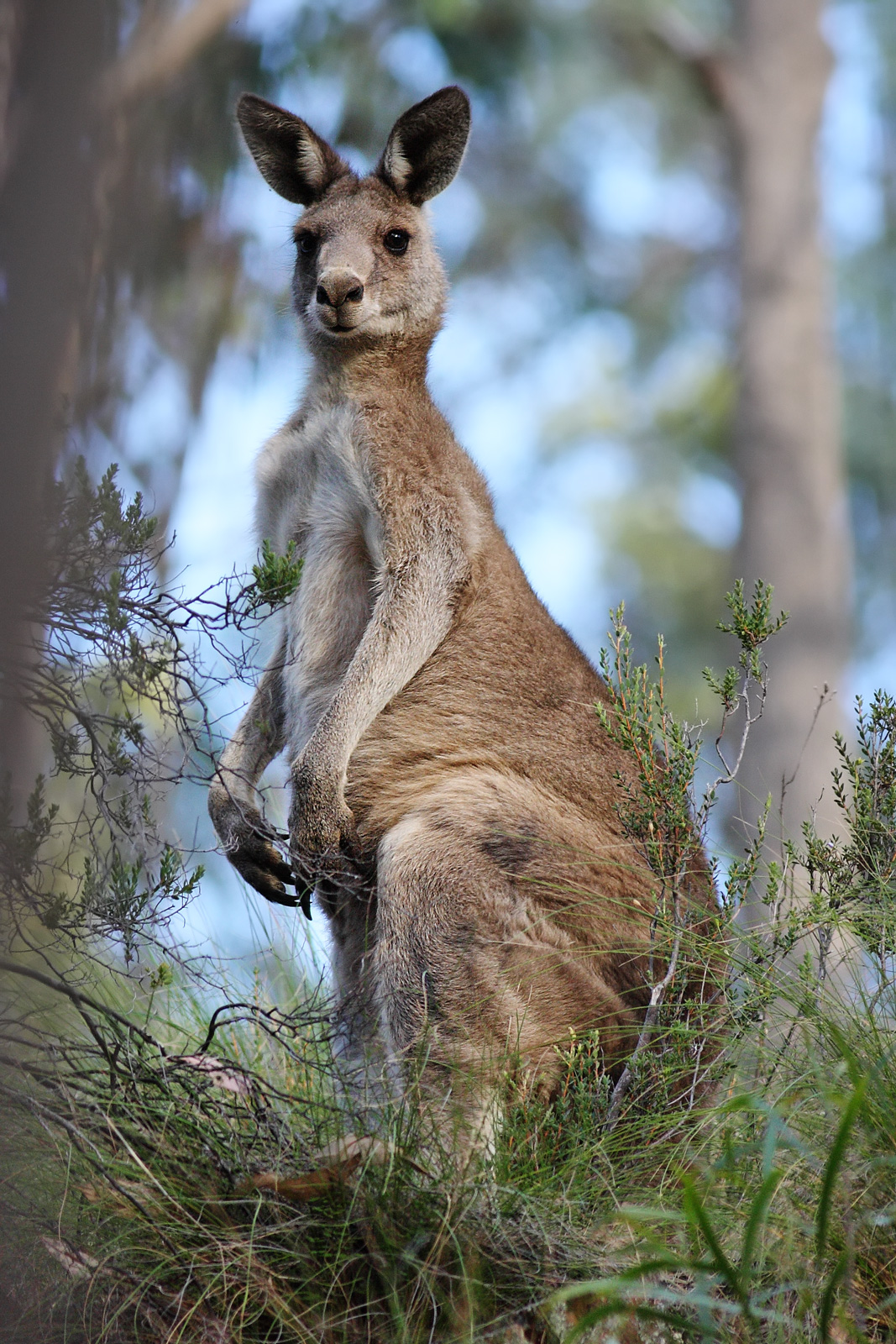 Australia (NatureRules1 Style)