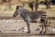 Equus zebra hartmannae - Etosha 2015
