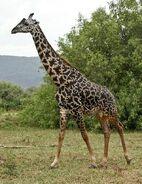 Giraffe camelopardalis tippelskirchi