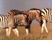 MATG Zebras