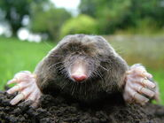 Mole, European
