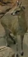 Omaha Zoo Klipspringer