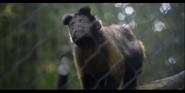 SDZ Capuchin