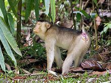 Sth-pig-tailed-macaque-fem 3906.jpg