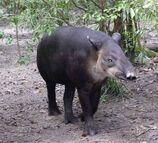 Tapir, Baird's.jpg
