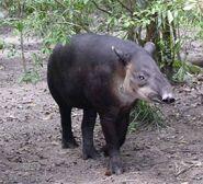 Tapir, Baird's