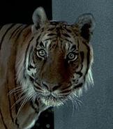 Tiger-dr-dolittle-0.3