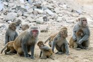 Troop of Rhesus Macaques