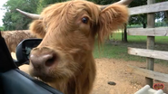 Alabama Safari Park Cow
