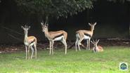Baton Rouge Zoo Gazelles