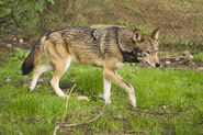 Brad-McPhee-adult-red-wolf-lg