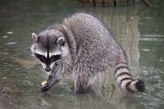 California Raccoon