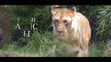 Cincinnati Zoo Lioness