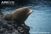 Fur seal, Galapagos.jpg