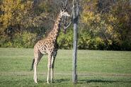 Giraffe, Masai