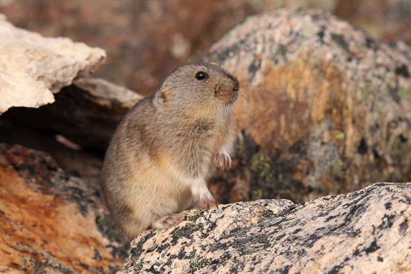 North American Brown Lemming