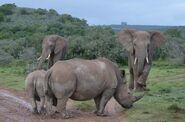 Long Lee Major Elephants and Rhinoceroses