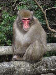 Macaque, Japanese.jpg