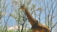 Pittsburgh Zoo Giraffe (V2)