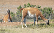 Two-Guanacos