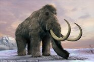 Woolly Mammoth Clones