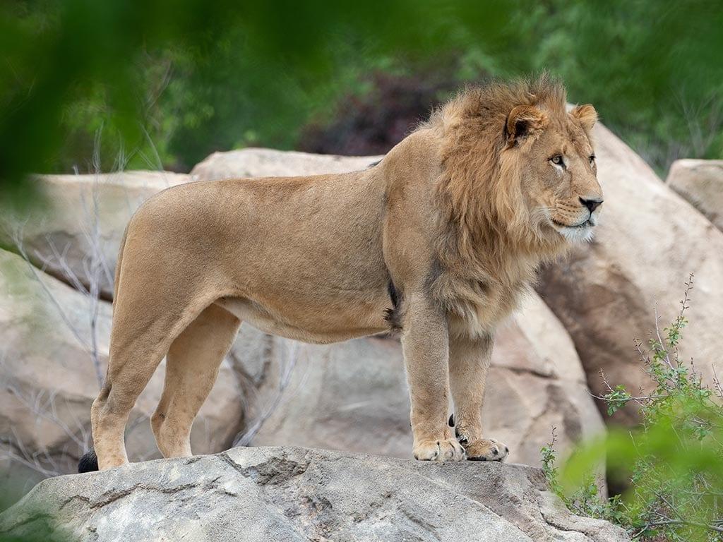Lionatoullie
