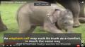 Asian Elephant in the African Savanna
