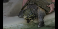 CITIRWN Snapping Turtle
