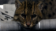 Cincinnati Zoo Fishing Cat (V2)