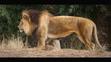 Cincinnati Zoo Lion (V2)