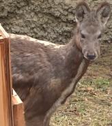 Columbus Zoo Siberian Musk Deer