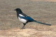 Magpie, Common