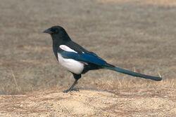 Magpie, Common.jpg