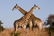 Male and Female South African Giraffes