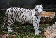 Panthera tigris tigris (White)