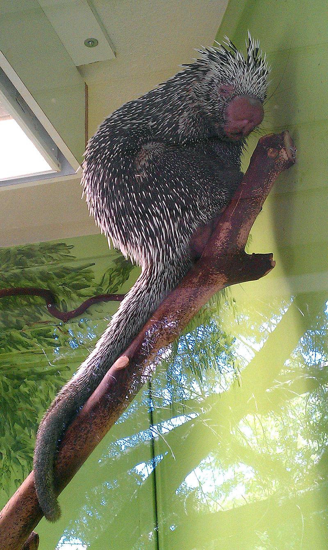 Brazilian Porcupine