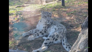 Rolling Hills Zoo Snow Leopard