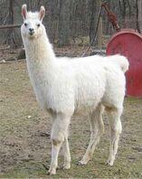 White Llama.jpg