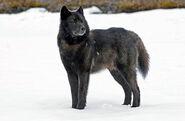 Wolf, Alexander Archipelago