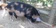 Zoo Anlanta Pig